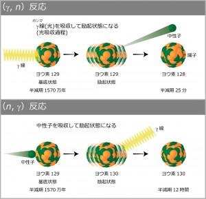 図1:核変換反応 左の(y,n)反応は原子核にγ線を当て、右の(n,γ)反応は中性子を原子核に当てて、それぞれ半減期の短い原子核にする。