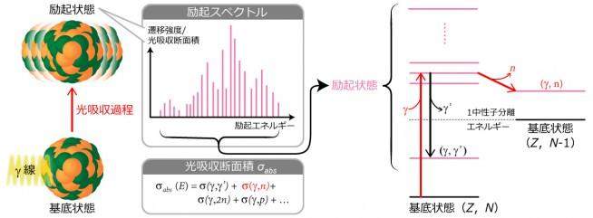 図2:(γ,n)反応の原理原子核は、γ線を吸収する光吸収過程により、不安定な励起状態に移行する。